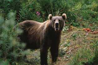 Warga Simpang Kanan Rohil di Masuki Beruang Liar